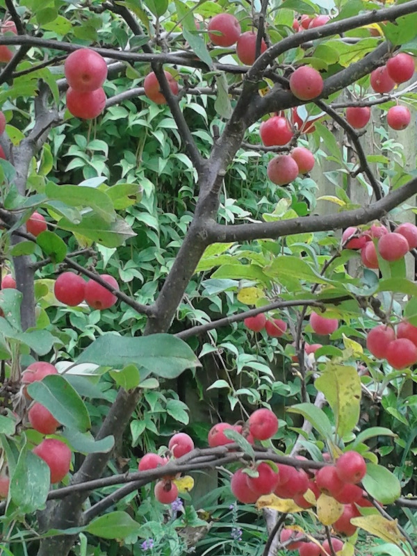 Full colour photo of tiny red apples gleaming on a tree (they are actually crab apples)