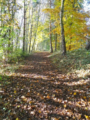 Colour photograph of a path through November woods in sunlight. The path is thickly covered in brown leaves, but the trees are golden with sunlight and also a fully yellow beech just about to drop its leaves.