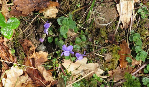 full colour photo of a few tiny violets nestling among spring (green) leaves, and also brown autumn leaves.